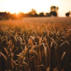 field-harvest-grain-summer-sunset-wallpaper